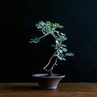bonsai_mini