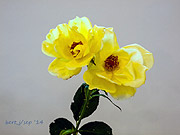rose_show_10_small