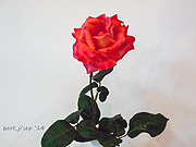 rose_show_3_small