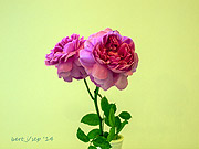 rose_show_6_small