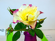 rose_show_8_small