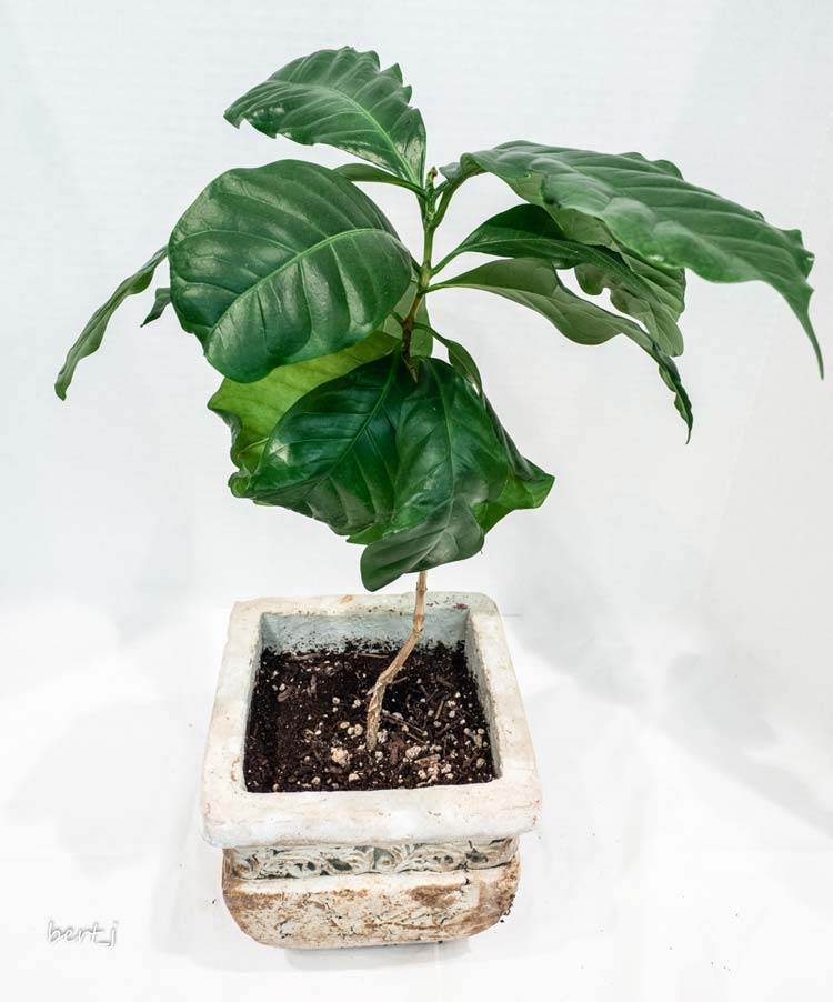 John Garside - Coffee Tree